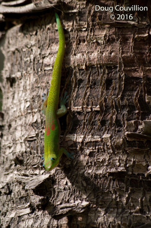 Photography by Doug Couvillion: Gold Dust Day Gecko on the trunk of a tree